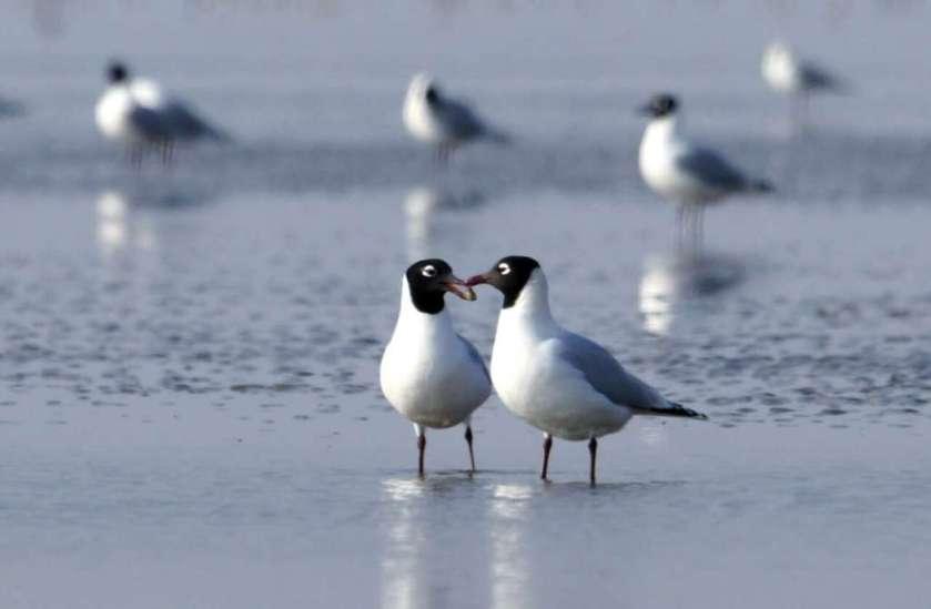relict gulls.jpg