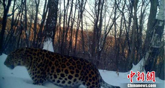 amur-leopard-1