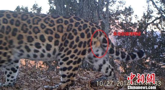 amur-leopard-2