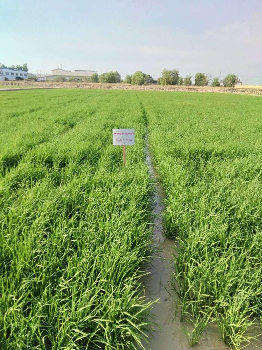 雨季种水稻,旱季种棉花,可以有效提高农民收入.jpg